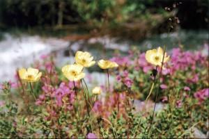 Цветы предгорий