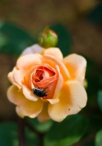 Абрахам Дарби. Розы Остина.